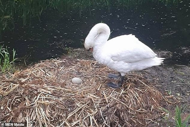 Mama swan dies after teenage boys kill 3 of her unborn cygnets, 2 of which got lost and 1 remained unharmed...