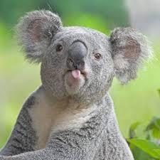 Save the Koala....