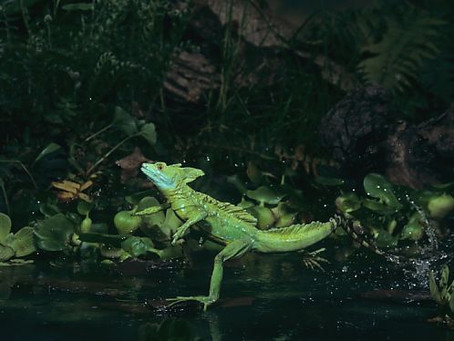 The Water-walking Lizard