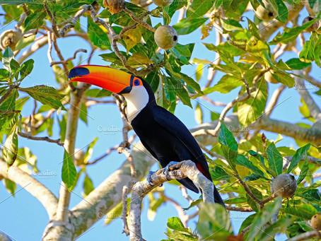 The Beautiful Beak of the Toucan