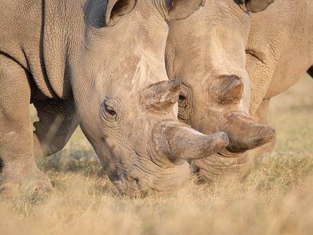 The Last White Rhino...