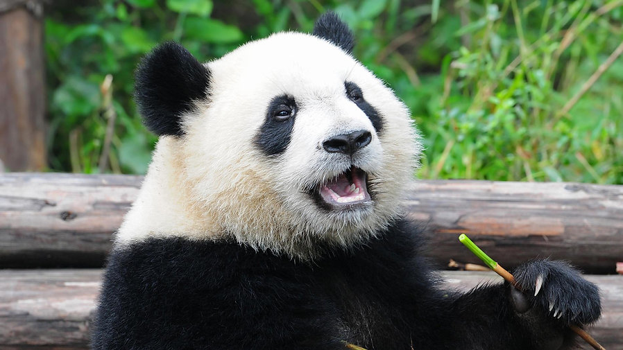 giant-panda-eating.ngsversion.1411231575