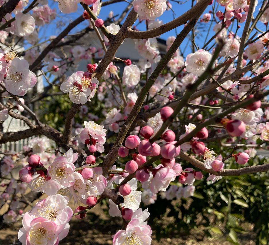 Cherrry Blossom - Patrycja Boryczka