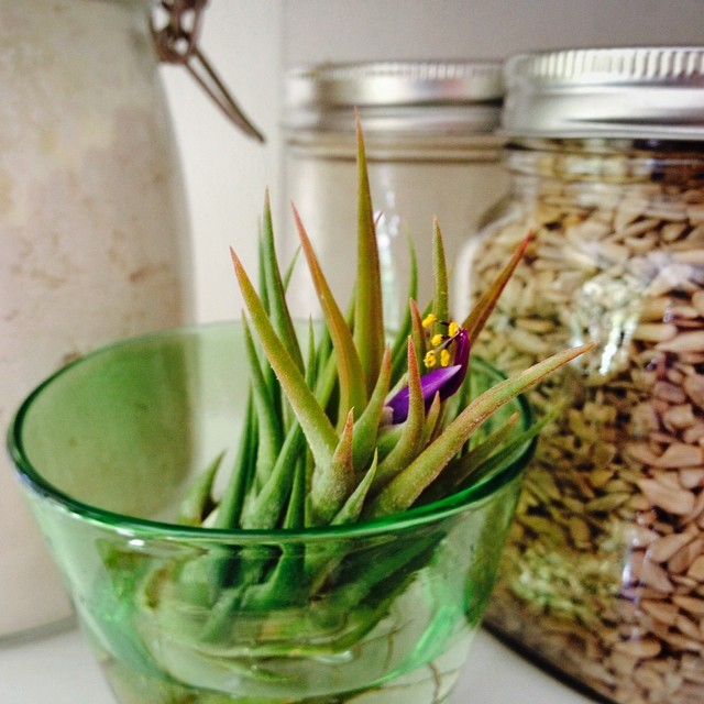 Instagram - Flowing air-plant! #airplant  #clearlysummer #handmadeglass #flower