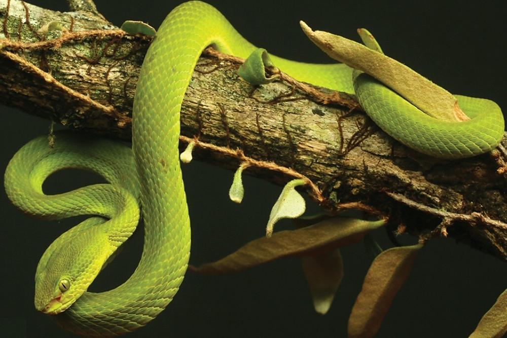 Serpente Salazar