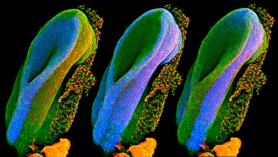 Tubos neurais de ratos