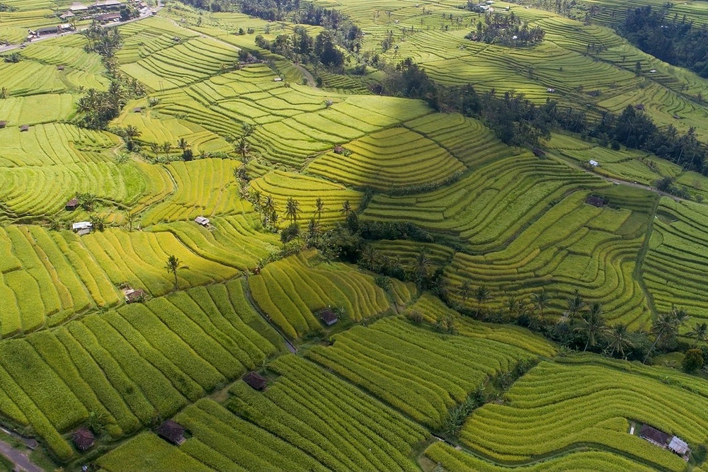 Plantação de arroz na Indonésia