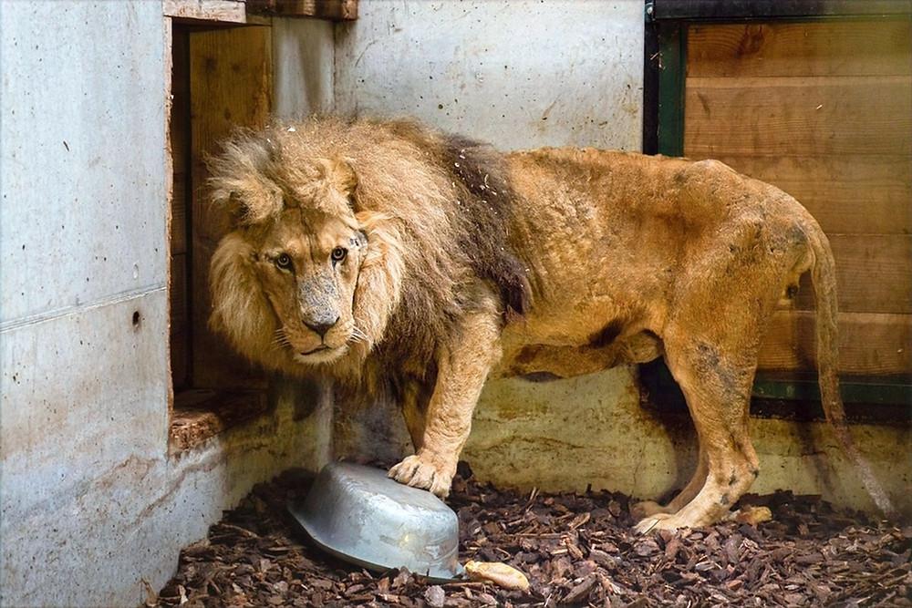 Leão de circo resgatado