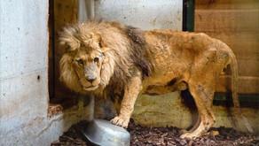 O resgate emocionante de um velho leão de circo