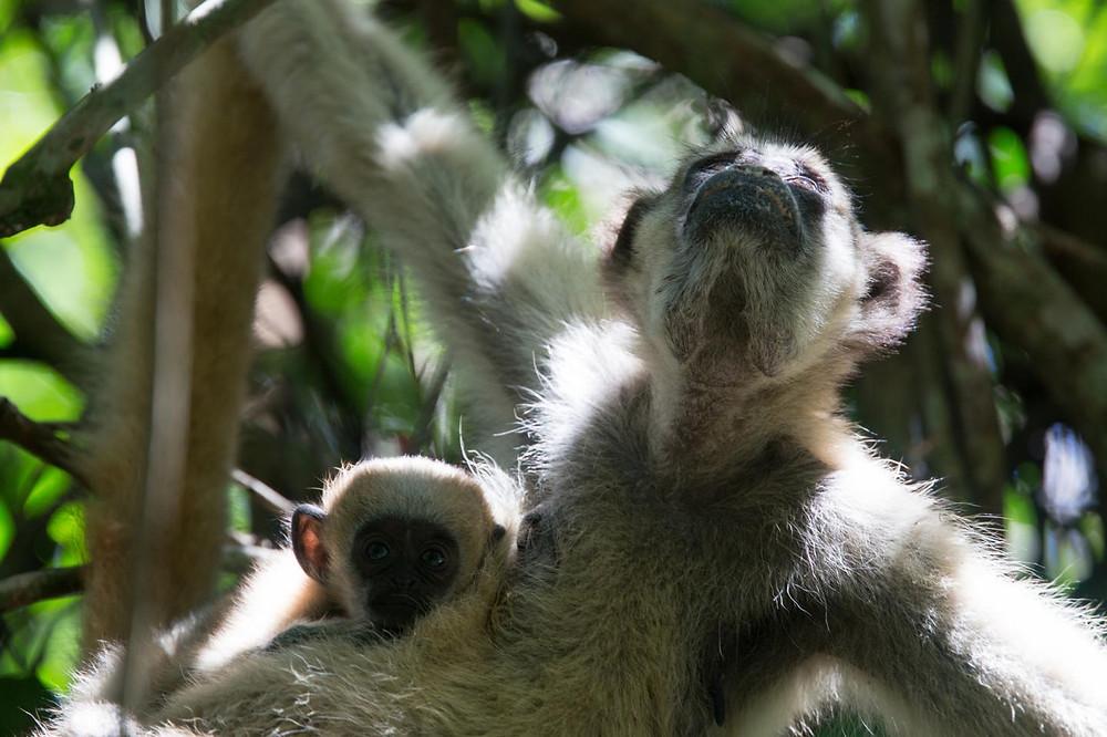 Uma mãe muriqui e seu filhote