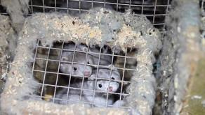 Pesadelo holandês: meio milhão de martas mortas a gás