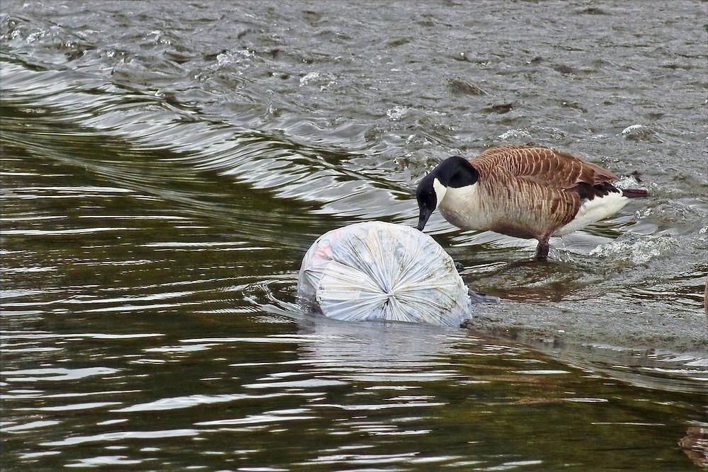 Ganso e lixo