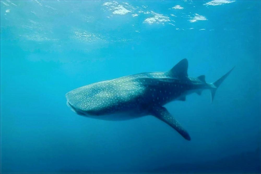 Tubarão-baleia na Austrália
