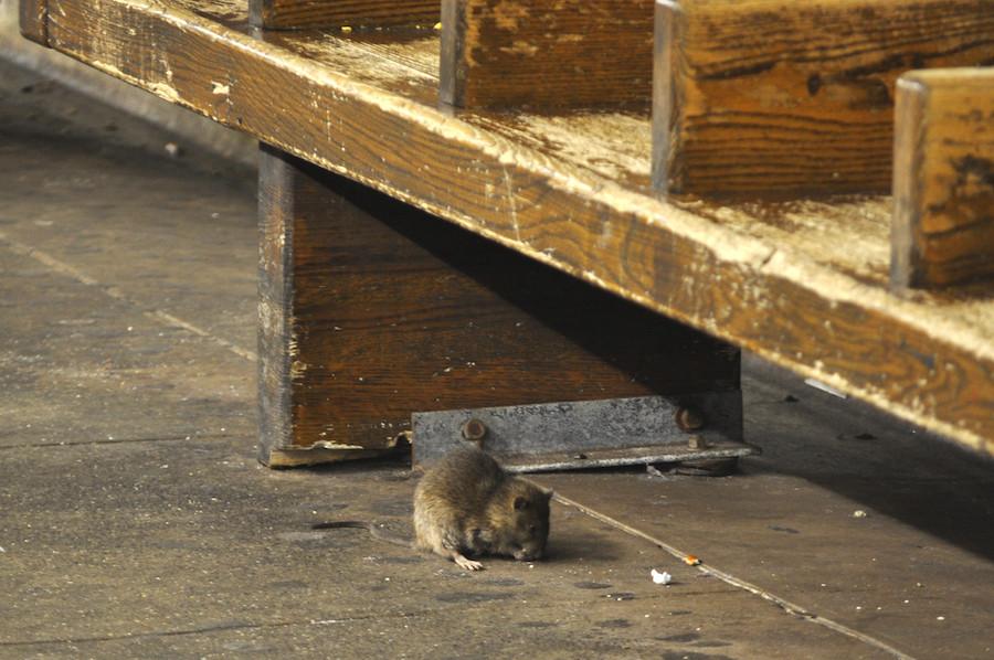 Rato come migalhas em Nova York |