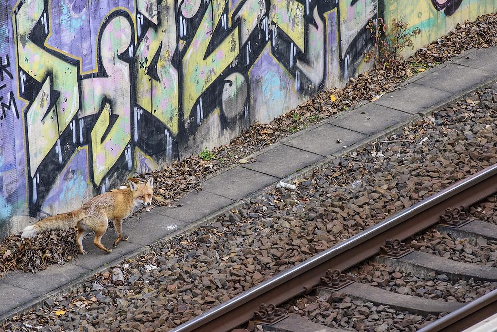 Raposa em Berlim