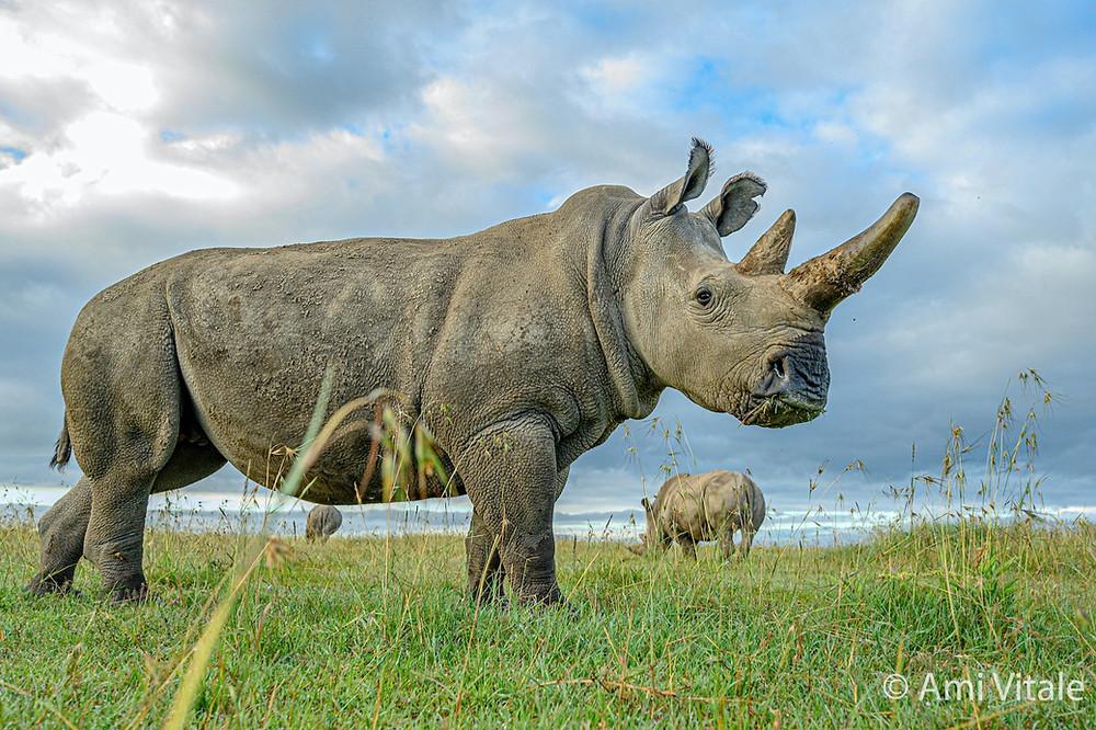 Rinocerontes-brancos do norte
