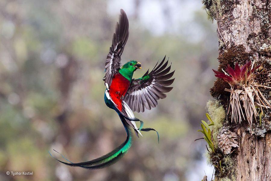 Um quetzal-resplandecente pega um abacate e leva para os filhotes na floresta San Gerardo de Dota, na Costa Rica, numa foto de Tyohar Kastiel.