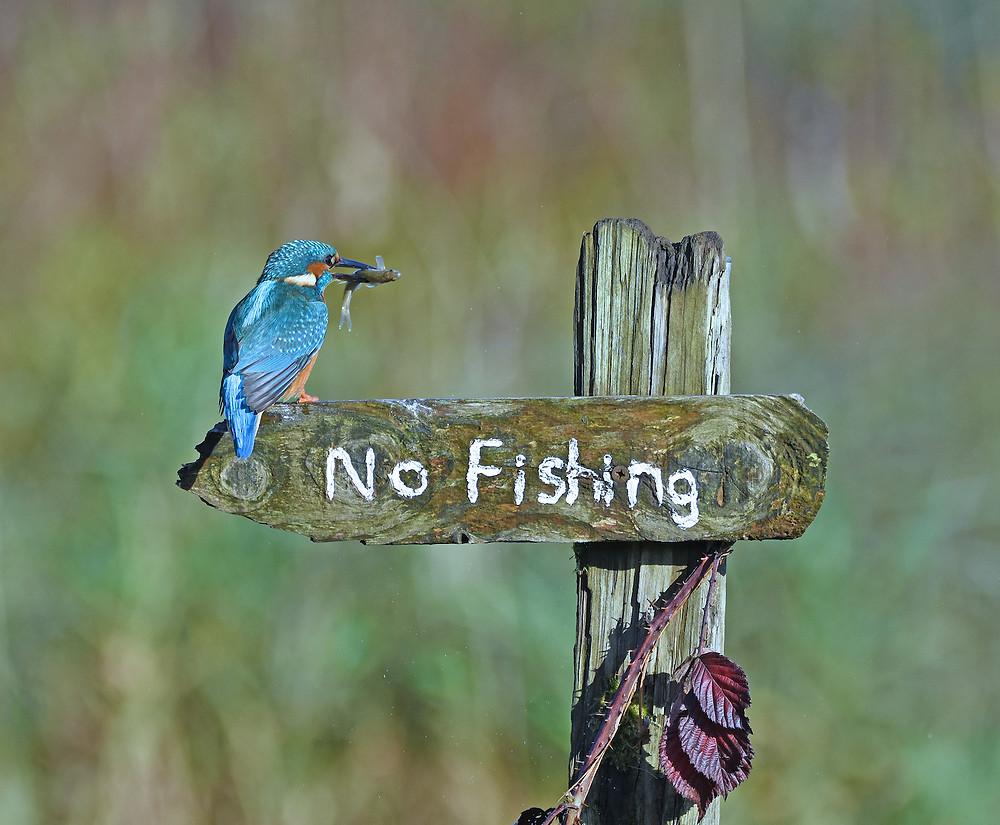 Martim-pescador