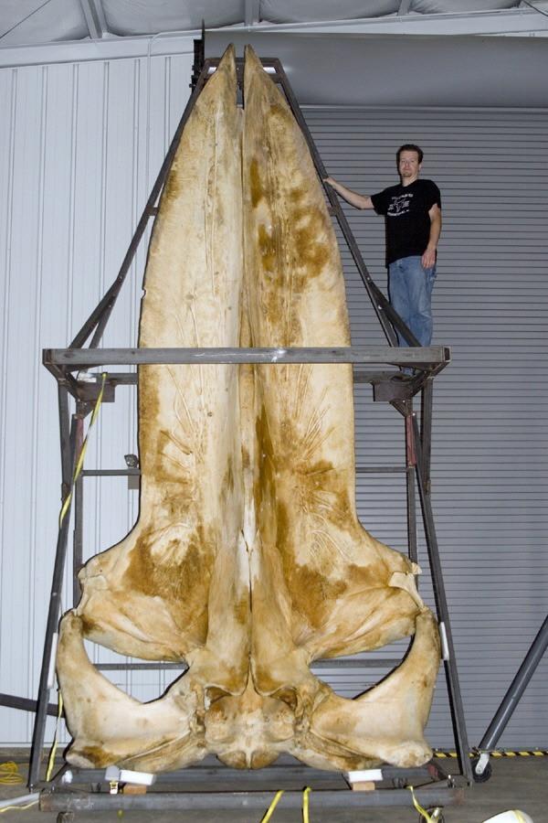 Cérebro da baleia azul