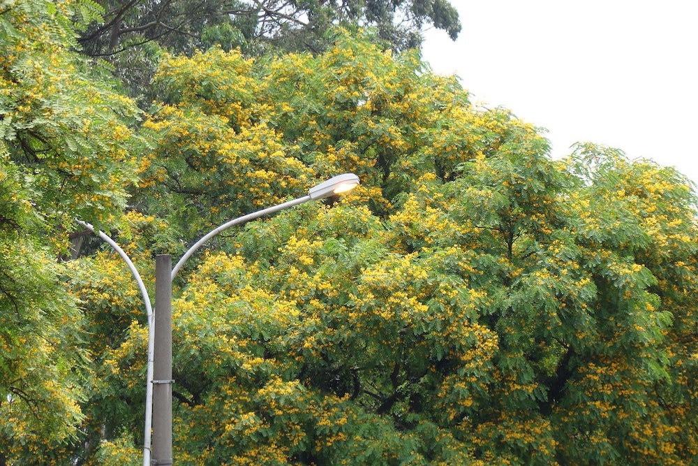 Árvore tijuana em São Paulo