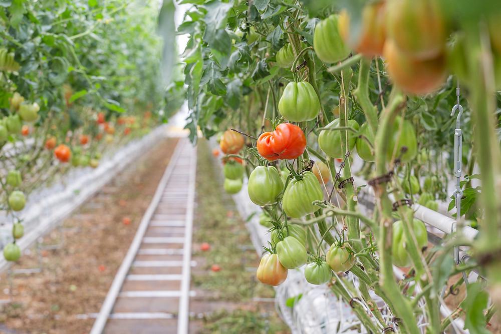 Plantação de tomates da Lufa Farms