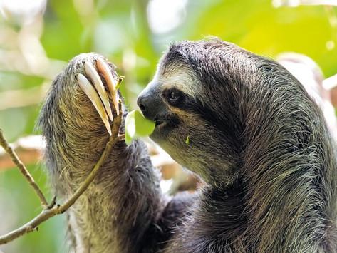 Preguiça-de-coleira, sob risco, só existe no Brasil