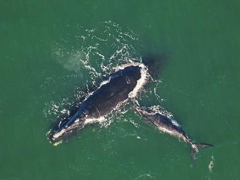 Restam apenas 336 baleias-francas-do-atlântico-norte