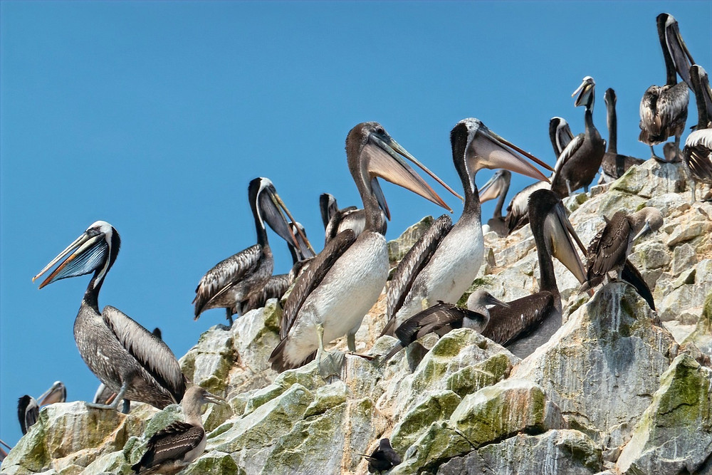 Pelicanos peruanos