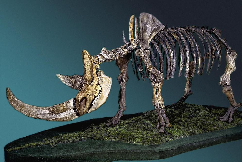 Esqueleto de rinoceronte-lanudo