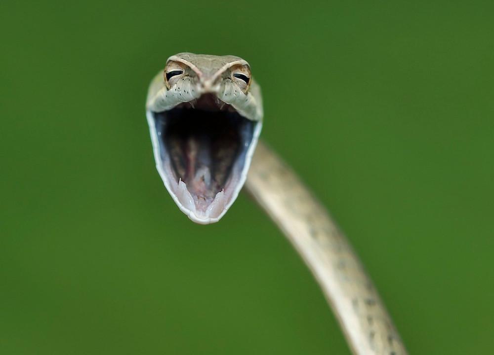 Cobra-trepadeira