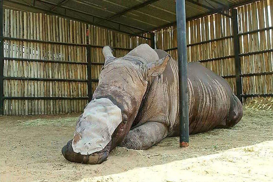 Rinoceronte ferido