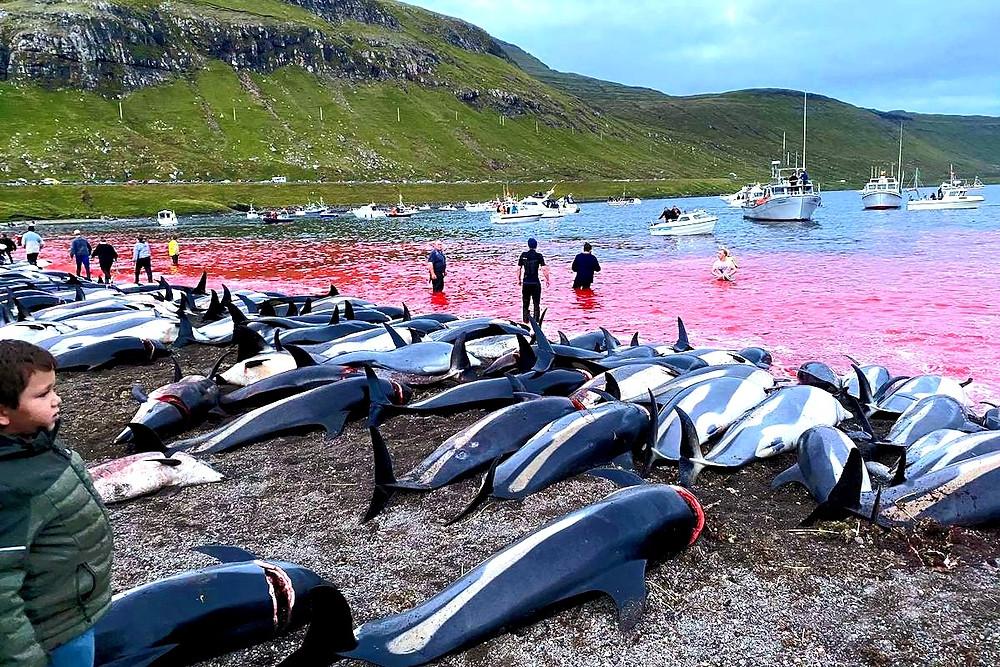 Golfinhos massacrados