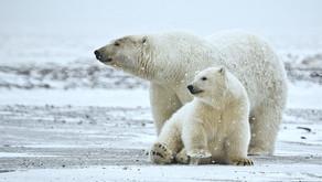 Petróleo ameaça refúgio de animais no Ártico