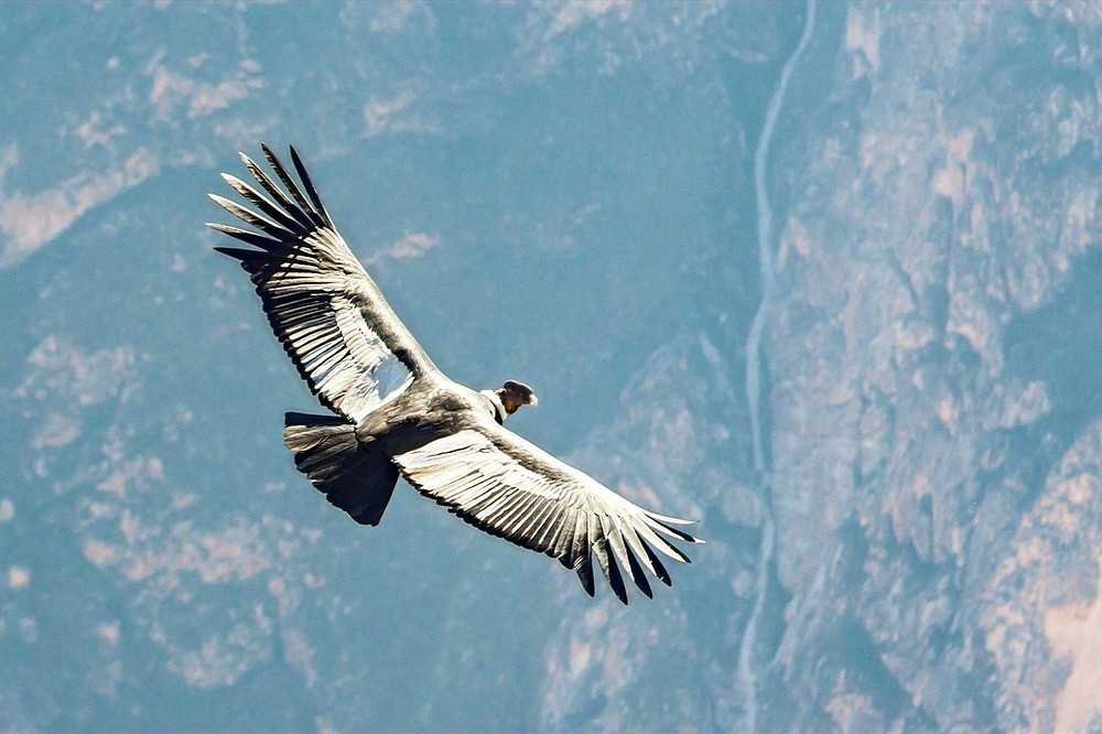 condor-dos-andes