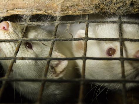 Dinamarca vai exterminar 15 milhões de martas
