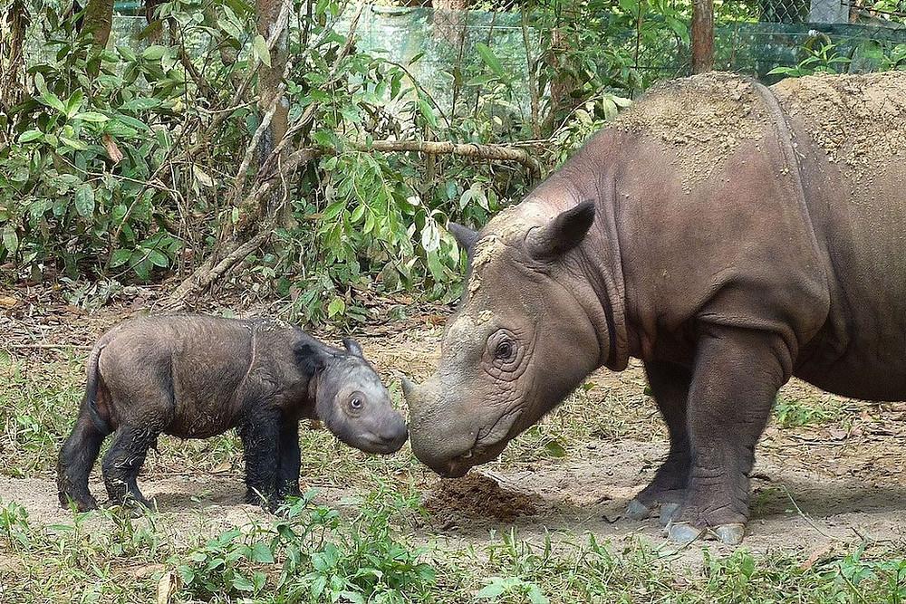 Rinoceronte-de-sumatra de quatro dias e sua mãe