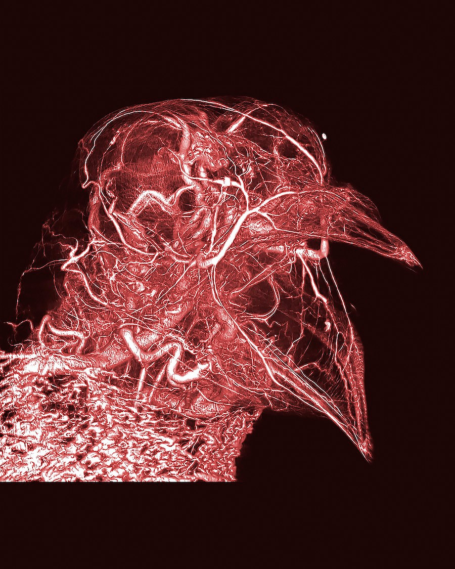 Vasos sanguíneos de um pombo