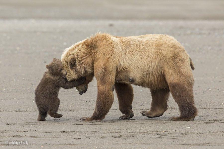 Um filhote de urso-pardo brinca com a mãe no Parque Nacional do Lago Clark, no Alasca