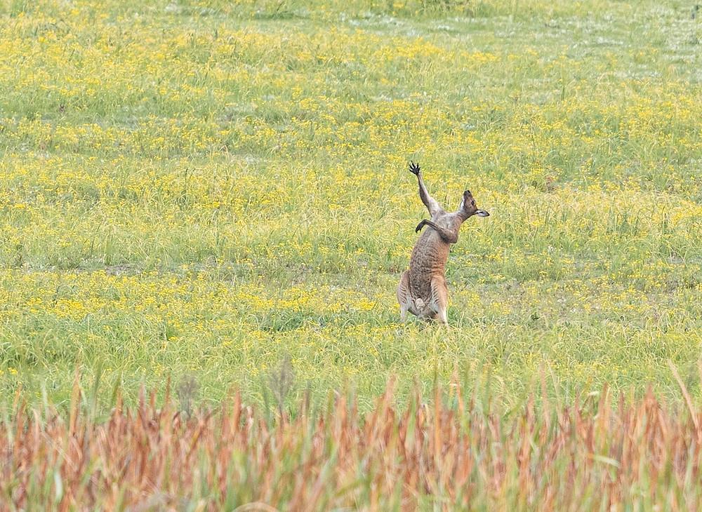 Canguru no campo