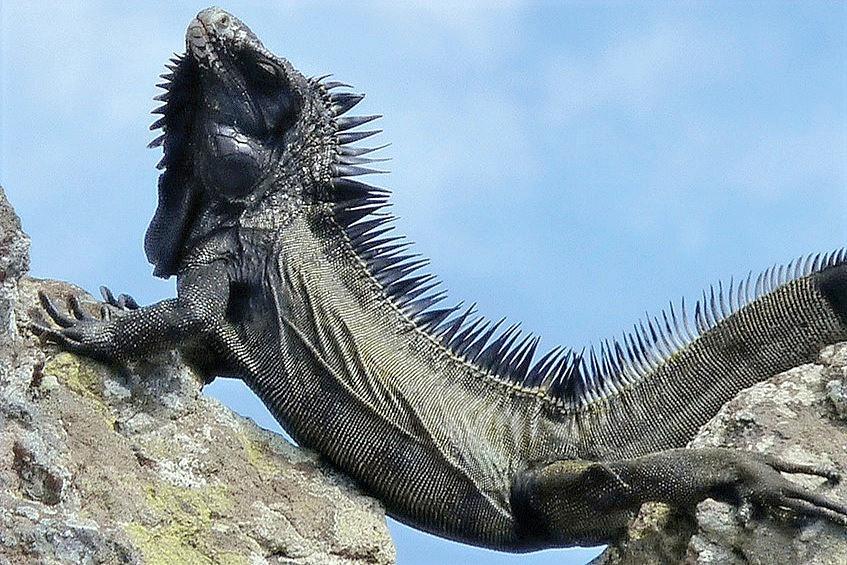Iguana negra do Caribe