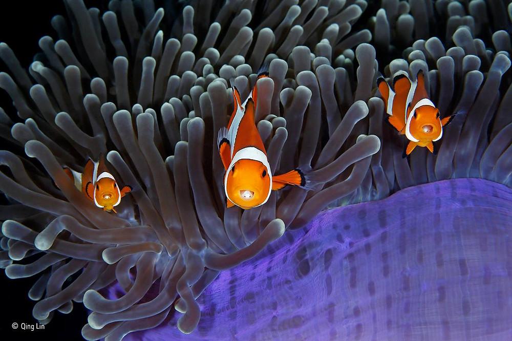Anêmonas e peixes-palhaços, em convivência harmoniosa. As anêmonas têm tentáculos que picam a maior parte dos peixes, mas não os peixes-palhaços. A foto, de Qing Lin, foi feita no Estreito de Lambeth, que banha a ilha de Sulawesi, na Indonésia.