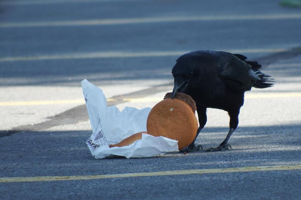 Corvo comendo hambúrguer