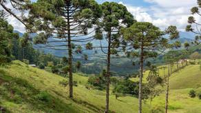 38 árvores ameaçadas são comercializadas no país