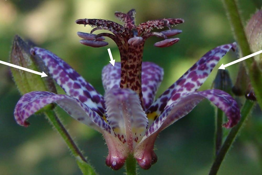 Tricyrtis formosana