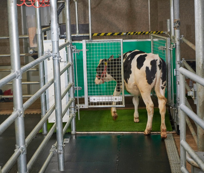 Vaca na toalete