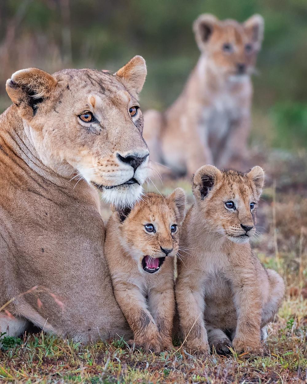 leoa e filhotes