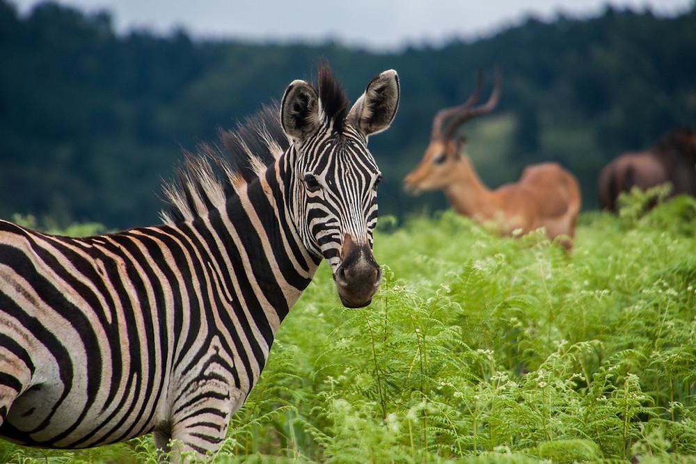 Zebra em eSwatini