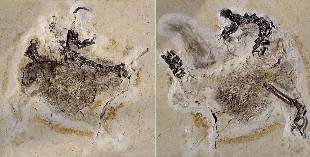 Fóssil do Ubijara Jubatus