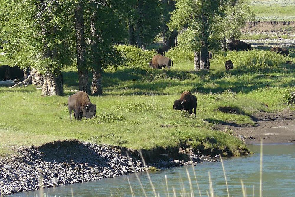 Bisões no Parque Nacional de Yellowstone