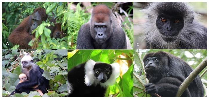 Primatas ameaçados de extinção